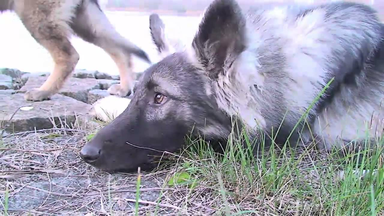 th rner wolfshunde ausflug zum silbersee bei merlin youtube. Black Bedroom Furniture Sets. Home Design Ideas