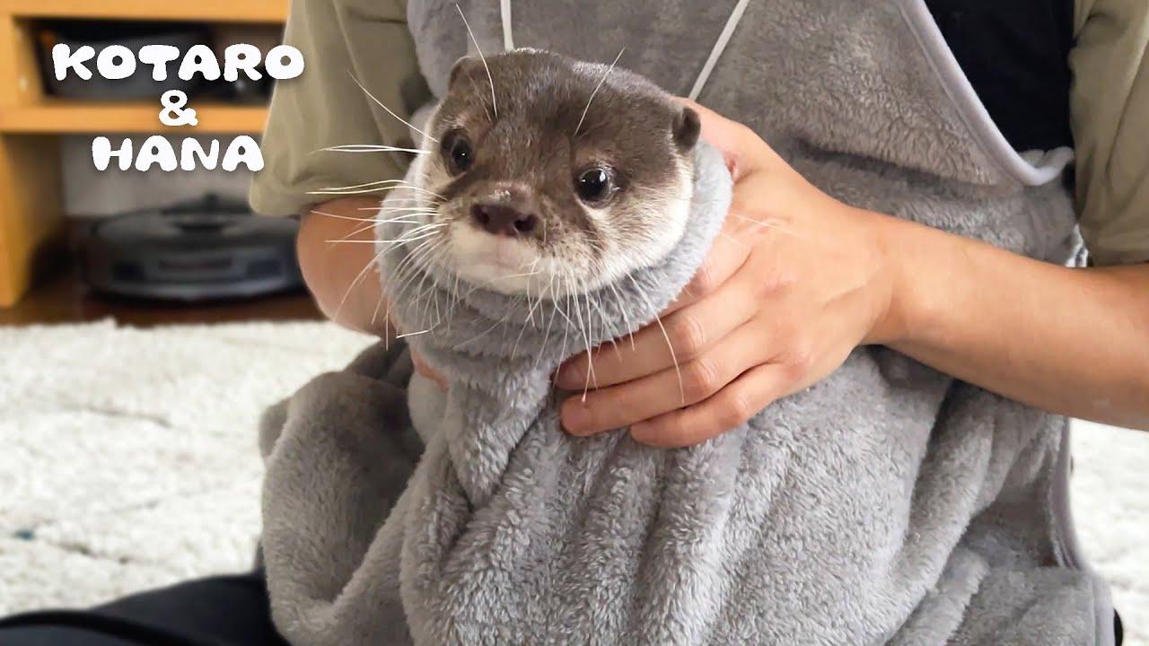 お腹ポケットにカワウソ入れたら赤ちゃんカンガルーになった Otter in Pouch Like a Baby Kangaroo