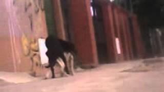 Perros cojiendo