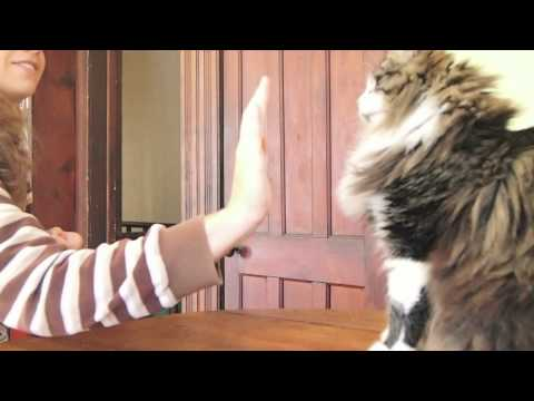 Darwin the Maine Coon does Tricks