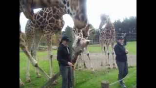 Giraffe Encounter, Hamilton Zoo, New Zealand