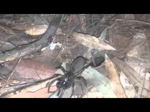 Sydney Brown Trapdoor Spider