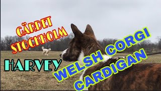 WELSH CORGI CARDIGAN /HARVEY/ENERGETIC AND FRIENDLY CORGI/BUGOS VLOG