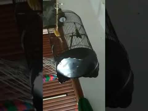 Download Lagu Kicau burung kenari jantan juara lomba