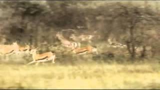 Guepardo o Animal mais rapido do mundo