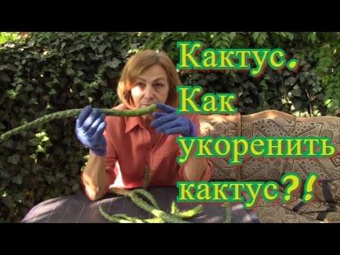 Кактусы.  Как укоренять обломившиеся кактусы?!