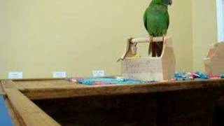 Blue Crown Conure - Karma
