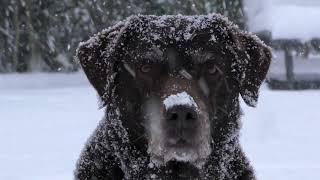 labrador retriever el mejor perro del mundo