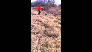 German Shorthaired Pointer Pheasant Retrieval