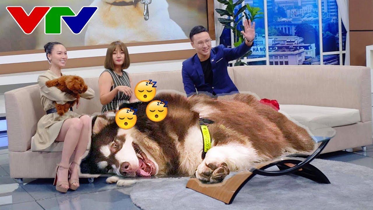 Chó Mật lên VTV3 - Nó ngủ luôn trên sóng truyền hình kìa - Alaska Dog Mật on television