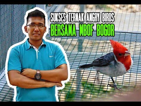KISAH SUKSES : Pengusaha Anggrek Berhasil Ternak Angry Birds di MBOF Bogor