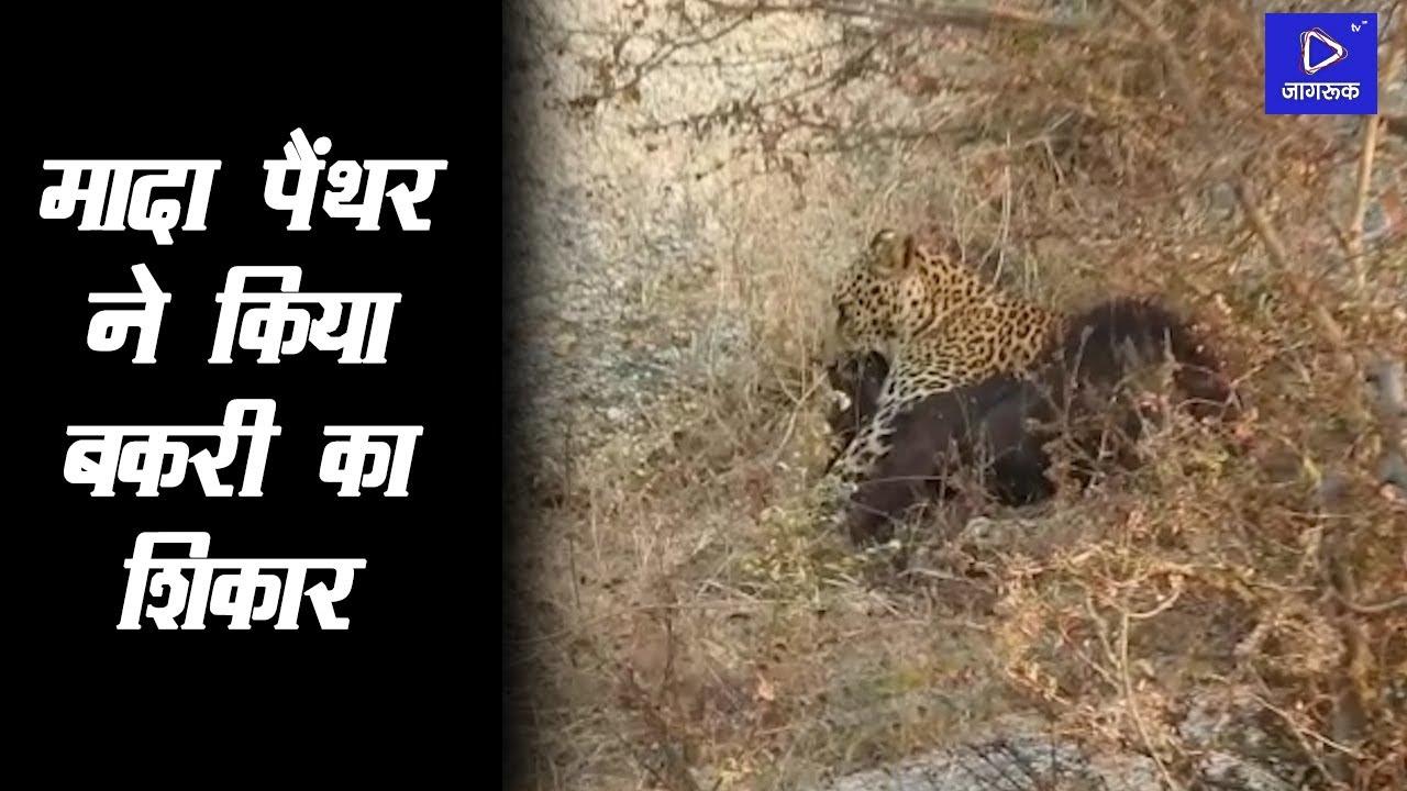 जीवदा के भोगटा पहाड़ी के पास मादा Panther ने किया Bakri का शिकार