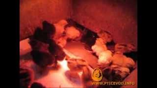 Суточные цыплята, вылупились 31 января(Цыплята только вылупились и обсохли в инкубаторе. Первую неделю будут жить в фанерном ящике. Греются под..., 2014-02-12T11:01:24.000Z)