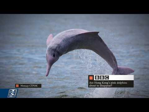 Вопрос: Розовые дельфины – где их можно увидеть в естественных условиях?
