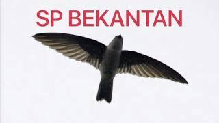 Download Mp3 Suara Walet Sp Bekantan  Link Download Di Deskripsi