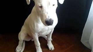 Dogo Argentino Tango 6 meses