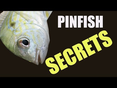 I Have A Degree In Catching Pinfish, 3 Proven Methods That Work