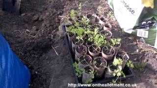 How to grow carrots in toilet roll tubes - On The Allotment