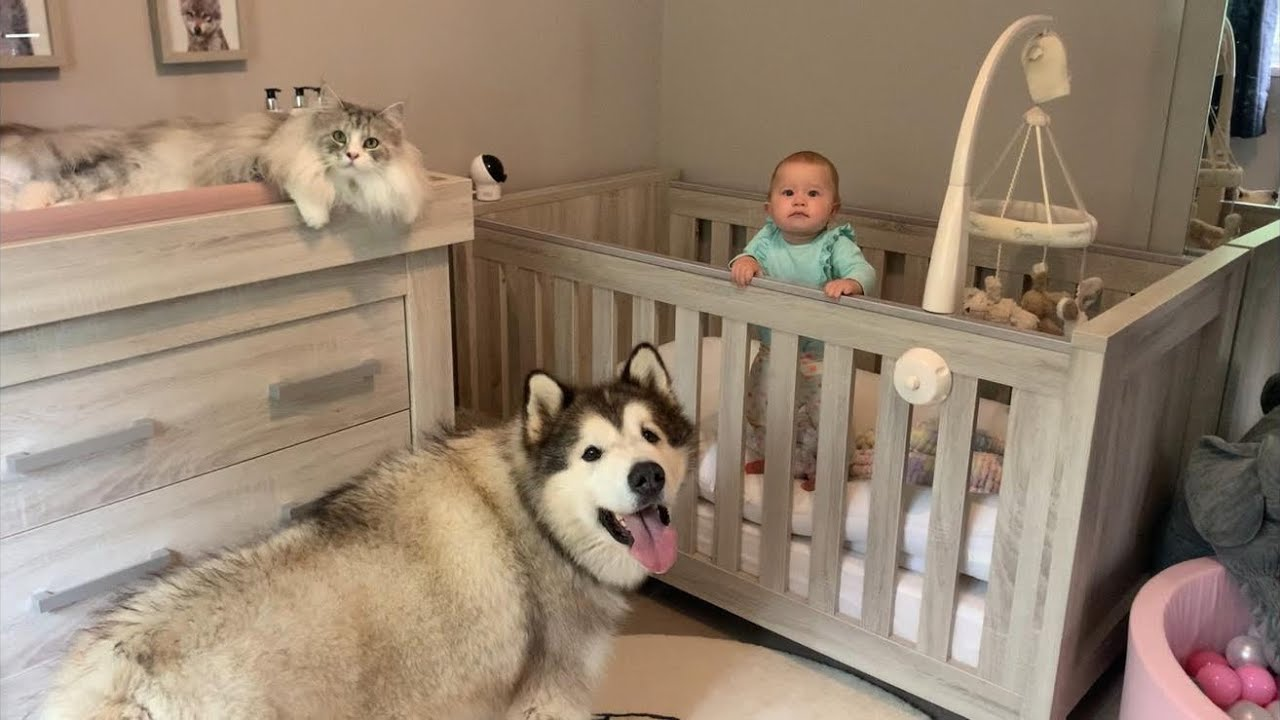 Giant Fluffy Dogs And Cat Wake Baby Up And She S So Happy Cutest Video Ever Youtube Великобритания добавлен 26 ноя 2012. giant fluffy dogs and cat wake baby up and she s so happy cutest video ever