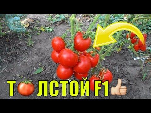 Урожайные сорта томатов (3-я часть). Толстой F1.
