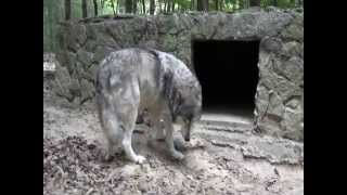 Gray Wolf loses his eyesight, the struggles ahead