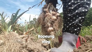vlog 시골 일상 브이로그- 마늘 수확하기?, 비빔 …
