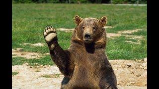 Медведи  Документальный фильм