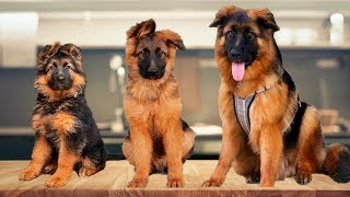 WATCH MY PUPPY GROW | GERMAN SHEPHERD (1 Day Old - 1 Year)