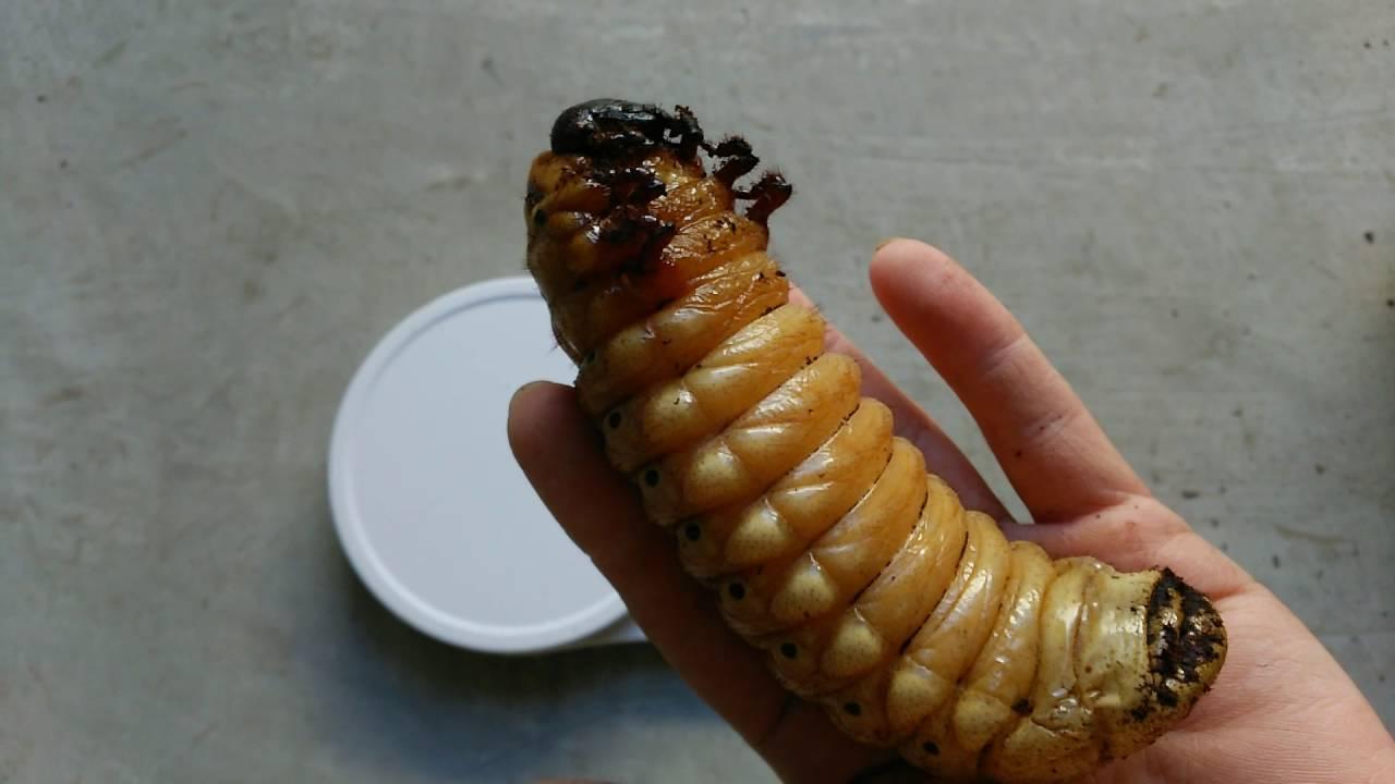 なる まで カブトムシ 幼虫 蛹 に から