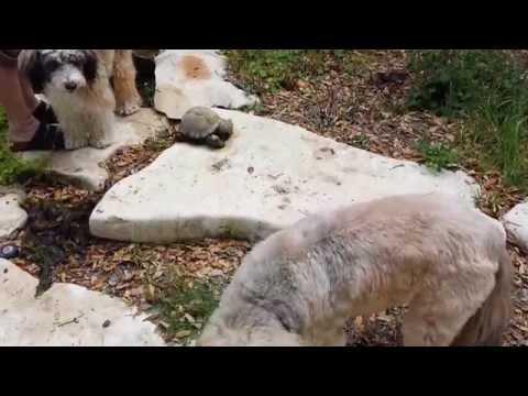 Pablo the Tibetan Terrier Fends Off a Turtle