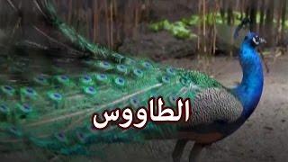 حيوانات - الطاووس