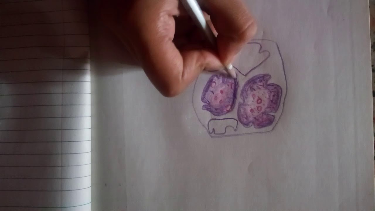 Thymus Gland Drawing In 2 Minutes Youtube