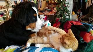 Bernese Mountain Dog and cat cuddling