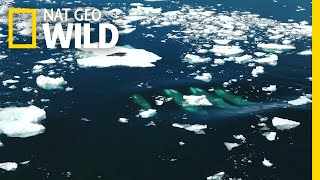 One Seal Tries to Survive an Orca Hunt | Nat Geo Wild