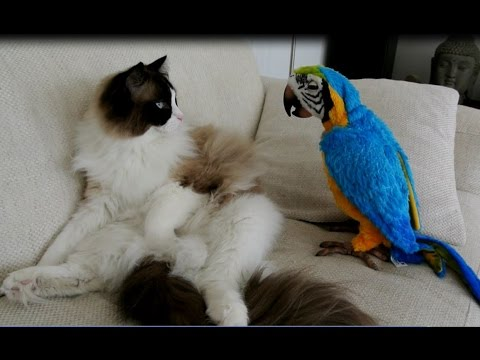 Timo the Ragdoll Cat Meets Fur Real Parrot
