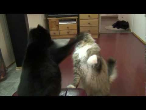Maine Coon Buster having a friendly combat