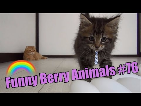 Funniest cats weekly Funny Husky Puppies Video Compilation JULY 2016 | Funny Berry Animals #76