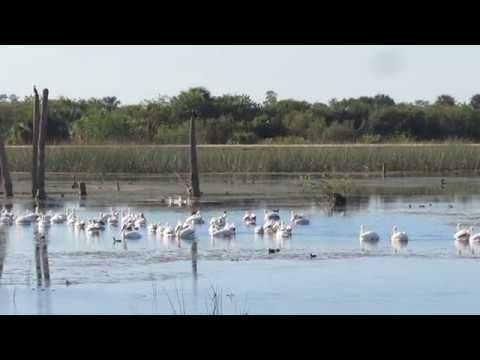 White Pelicans and birding the Viera Wetlands, Florida