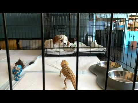 Bearded Dragon visits Cavoodle Puppy