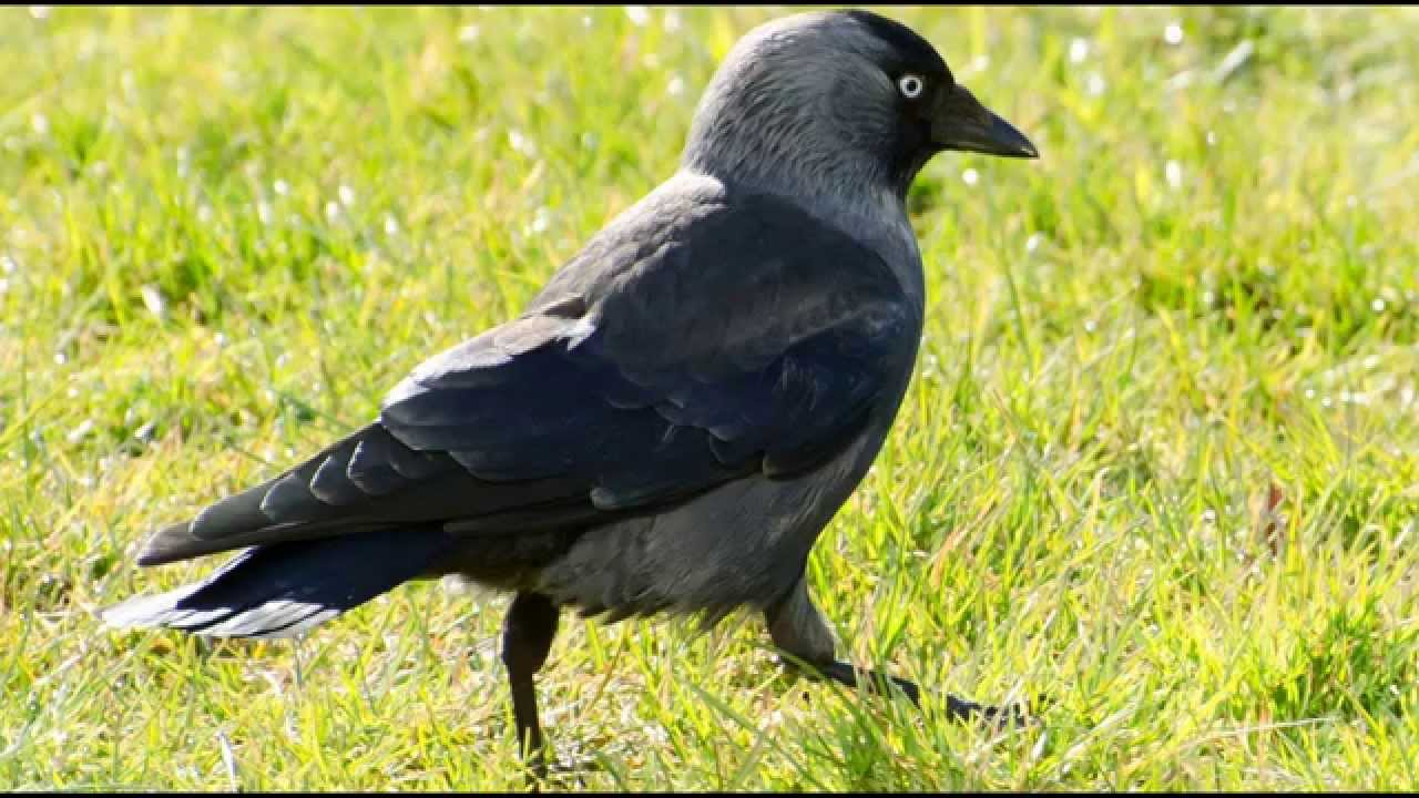 Jackdaw Bird Call Bird Song