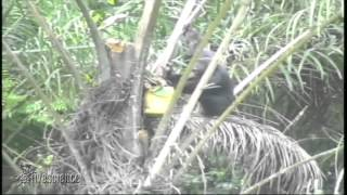 Chimp Uses Tool To Get Hammered On Palm Wine | Video
