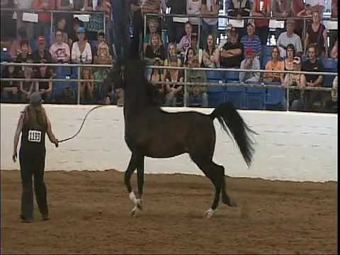 Arabian Stallion Mojave Kid Scottsdale Liberty Class 2012