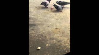 zombie pigeons