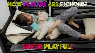 HOW PLAYFUL ARE BICHON FRISE BREED? | AVA and ZAYN