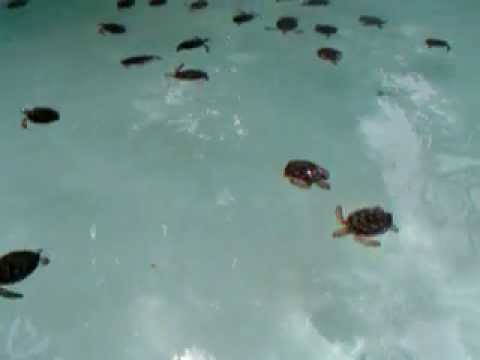Tons Of Baby Sea Turtles Swimming Cancun Mexico Youtube