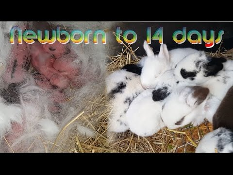 Rabbit Babies newborn to 14 days - Baby bunny Kits