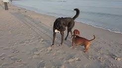 Mit Fridolin erstmalig am Hundestrand auf Wangerooge