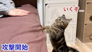 ベッドにいる飼い主を何度も攻撃してしまった子猫w