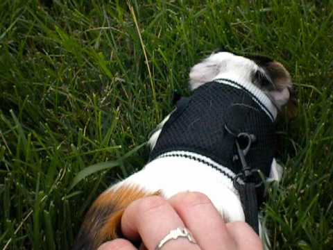 Guinea pig on a leash youtube guinea pig on a leash publicscrutiny Image collections