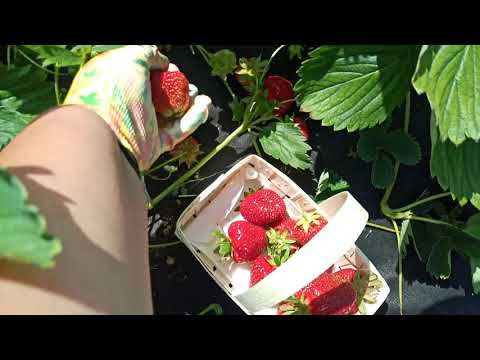 ДАРСЕЛЕКТ-клубника с насыщенным вкусом и крупной ягодой.